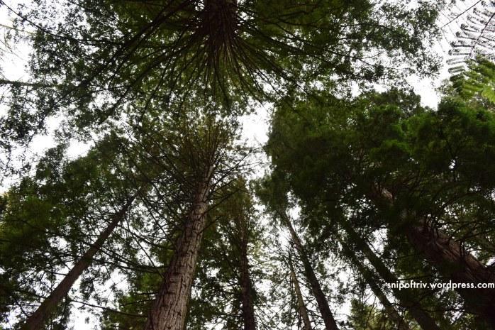 redwoods4
